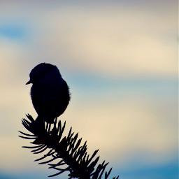 nature silohuette bird freetoedit
