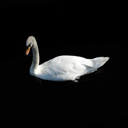 blackandwhite petsandanimals photography swan