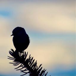 nature freetoedit art silohuette bird