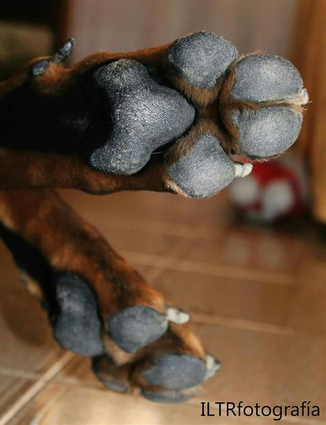 Las manos que siempre me ayudaban #Bart #doberman #dog #love #missu #iltrfotografia