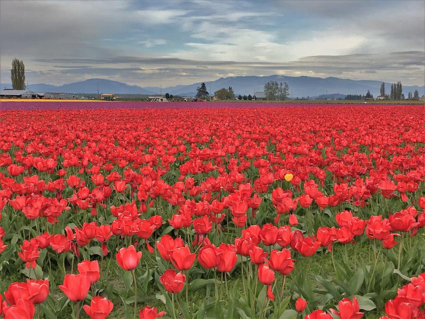 Tulip Festival at Skagit Valley,WA